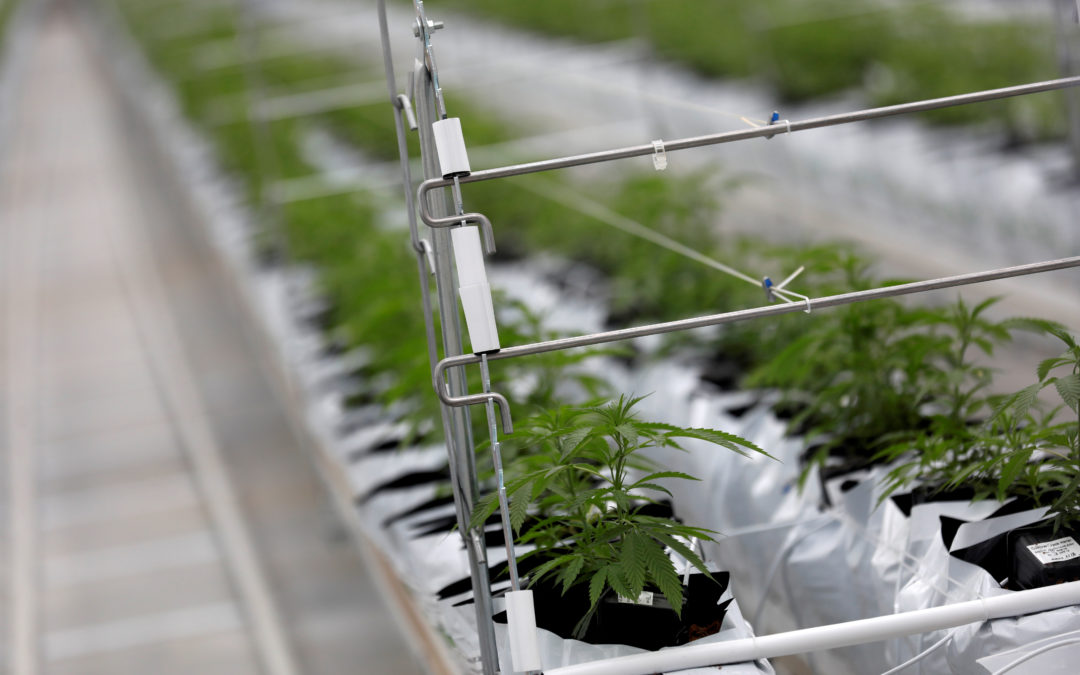 Cannabis Sector Can Celebrate Canopy Growth's Earnings Rally