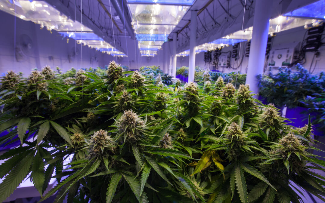 GrowGeneration (GRWG) Stock: What's Behind Cannabis Company's Share Price Whiplash